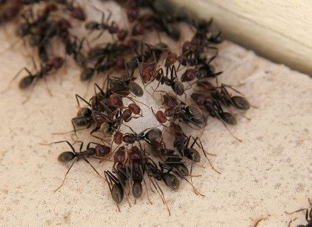 1280px-Ants_eating