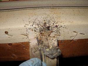 bedbugfecal