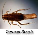 roachGerman