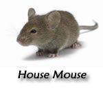 rodentMouse