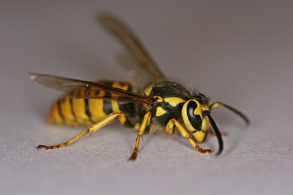 Yellow_jacket_wasp