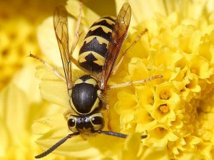 800px-Wasps_hornets_insect