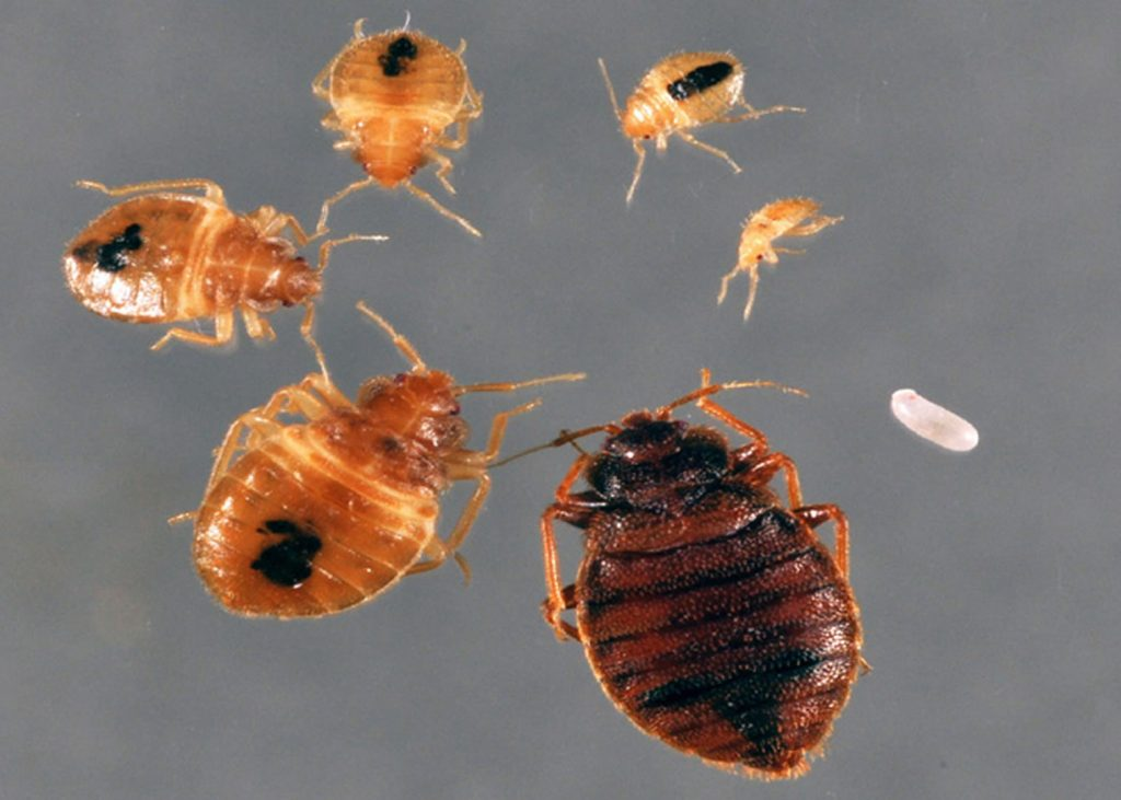 Bedbug Cycle