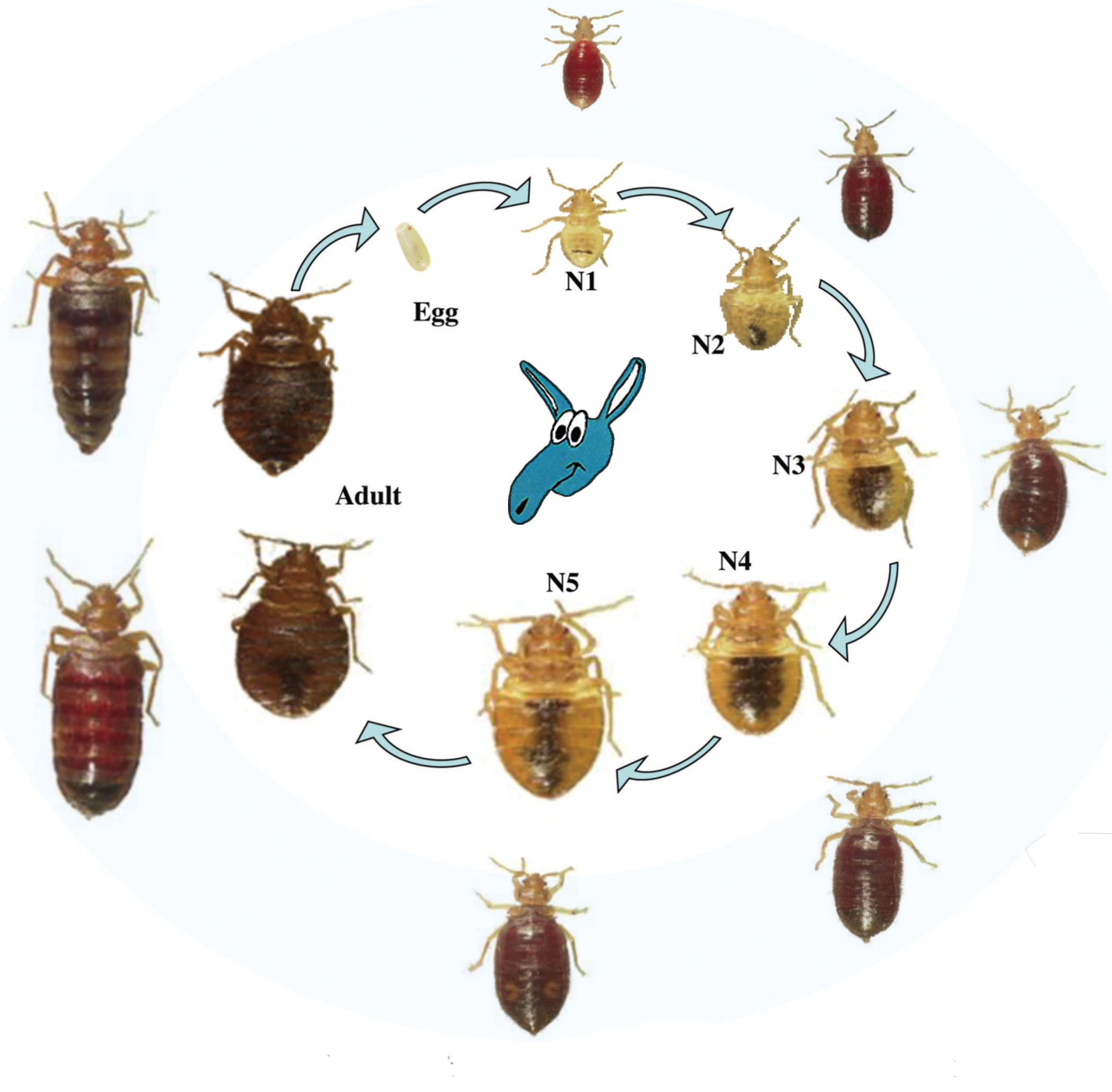 The Life Cycle Of A Bed Bug Bedbugs What You Need To Know